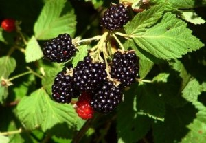 Raulerson's Berry Patch - Buy Haywood