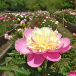 Peony garden at Wildcat Ridge Farm