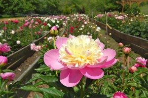 Peony Garden photo courtesy of Ricardo & Suzann Fernandez