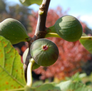 Fig Trees grown at Wildcat Ridge Farm